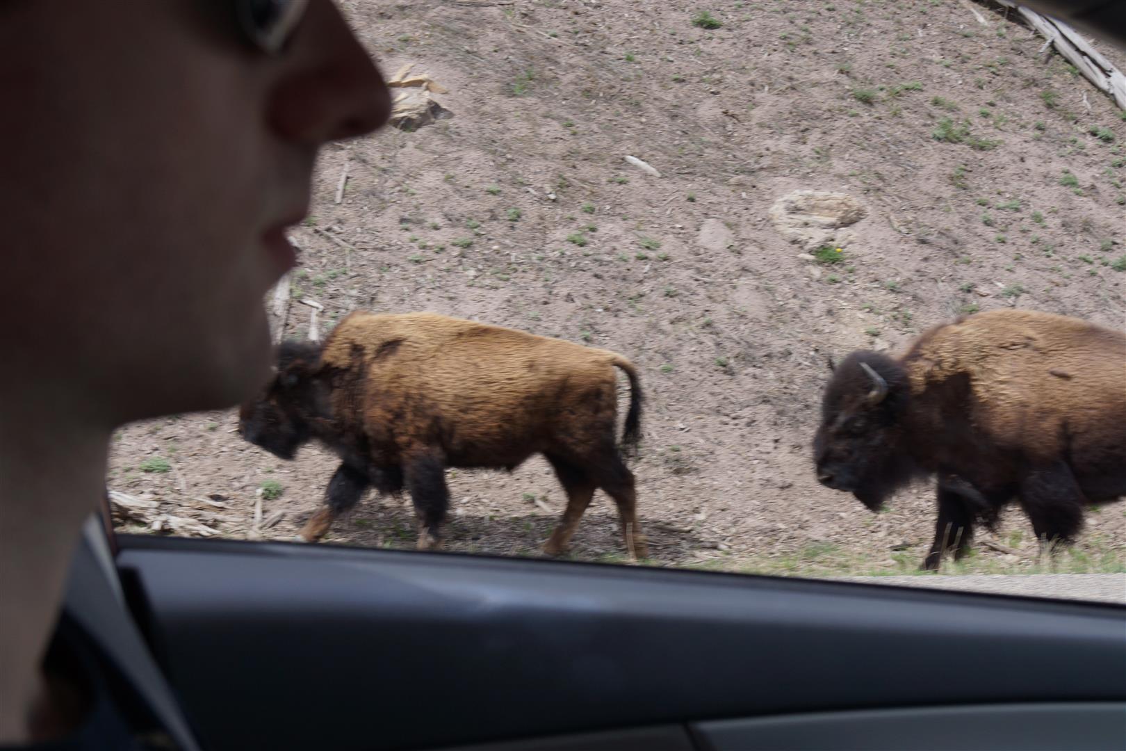 Büffel auf der Straße
