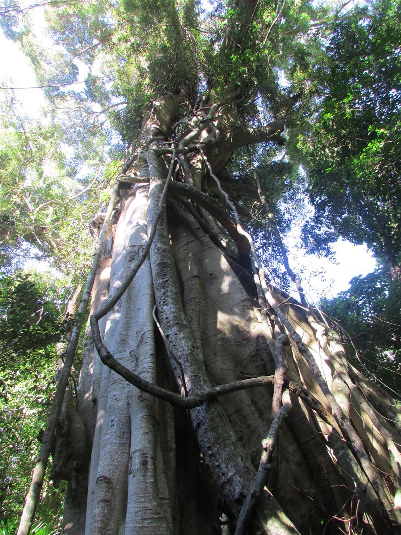 Vorbei an riesigen Urwaldbäumen...