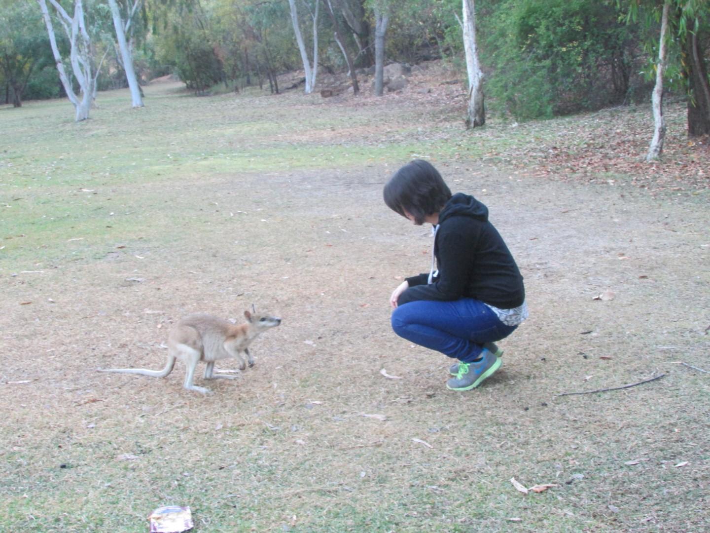 Neugieriges Känguruh im Katherine Gorge Park.