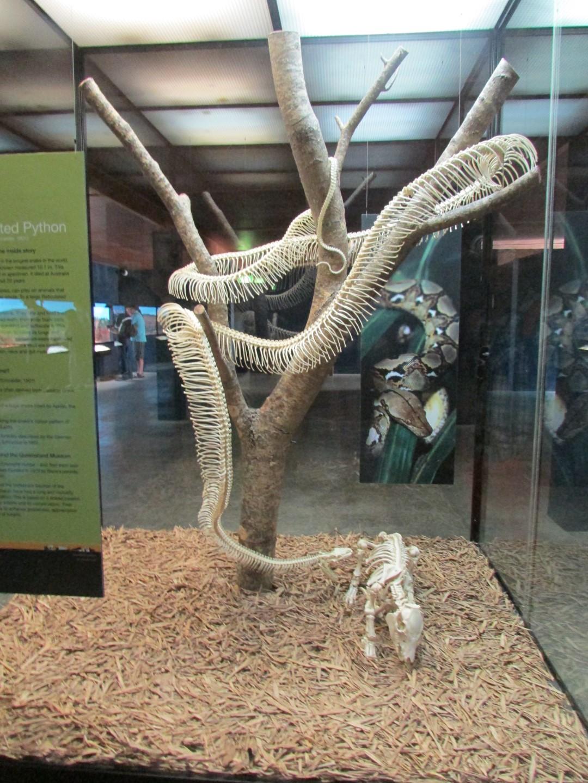 Australische nicht giftige Schlange Nr. 3. (Außerdem nicht mehr sehr lebhaft.)