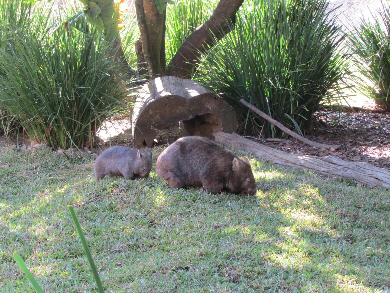 Wombat mit Baby im Anhang.