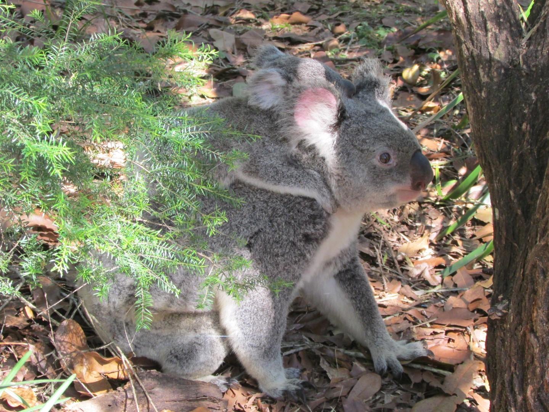Mit Baby auf dem Rücken können sich die sonst so trägen Koalas plötzlich sehr schnell fortbewegen.