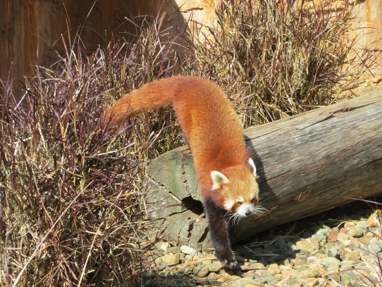 Roter Panda... Ja, die hab ich davor auch noch nie gesehen!