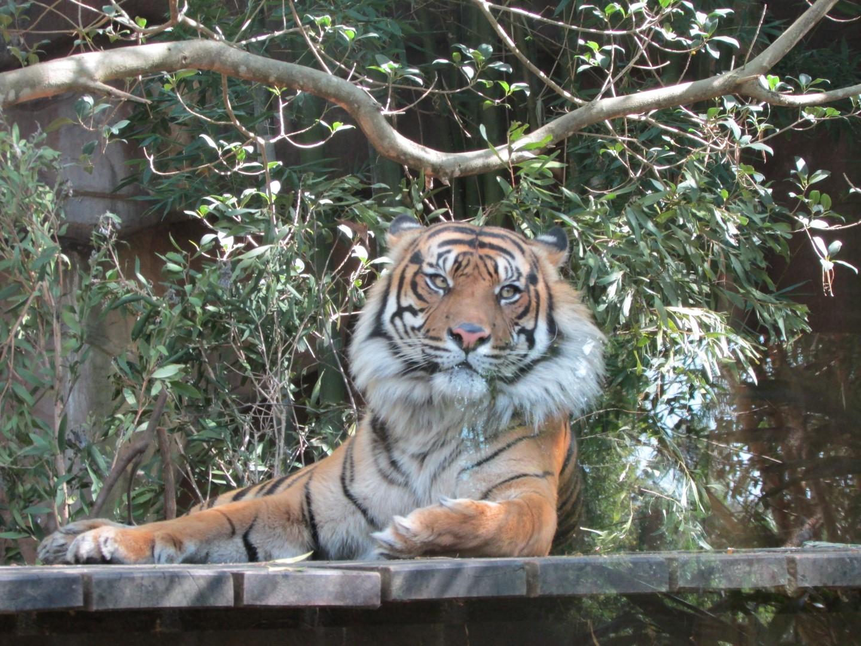 Recht desinteressierter Tiger.