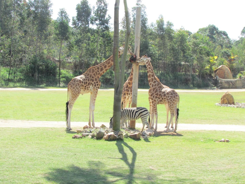 """Drei Giraffen mit dem Futternapf, standen auf der Steppe und erzählten sich was. Da kam das Zebra her, fragt: """"Was ist denn das?"""" Drei Giraffen um den Futternapf!"""