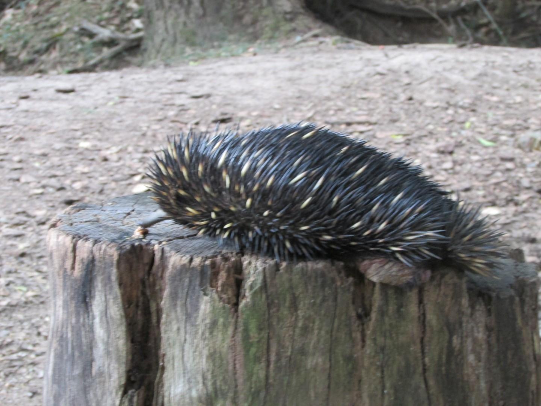 """Dieses Tier heißt im Englischen """"Echidna"""". Auf deutsch hat es den wundervollen Namen """"Schnabeligel""""..."""